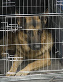 German shepherd in a car cage. German shepherd sitting in a car cage Stock Photography