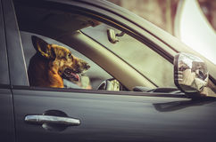 German shepherd at car wheel. Side portrait of a happy German shepherd dog sitting in the driver seat. Trained dog driving, steering a car. Attentive German royalty free stock photo