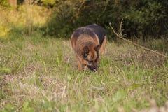 German Shepherd caught the clue Stock Image