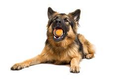 German shepherd chewing an orange ball Royalty Free Stock Image