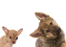 German shepherd and chichuahua puppy Royalty Free Stock Images