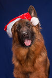 German Shepherd in a Christmas hat. Blue background. Stock Images