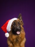 German Shepherd in a Christmas hat. Purple background. Royalty Free Stock Image