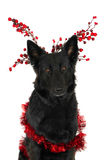 German Shepherd, Christmas Stock Photos