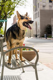 German Shepherd in the City royalty free stock photography