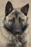 German Shepherd close-up Royalty Free Stock Photo
