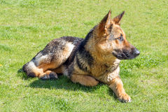 German shepherd without a collar Royalty Free Stock Photo