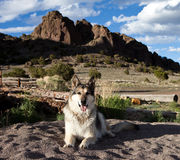 German Shepherd in Colorado Royalty Free Stock Photo
