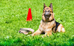 German shepherd command GUARD. Royalty Free Stock Images