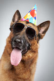 German shepherd in cone and dark sunglasses Stock Images