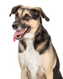 German Shepherd Cross Closeup. A happy German Shepherd Mixed Breed Dog sitting with side to the camera. Mouth is open and tongue is hanging out Royalty Free Stock Images