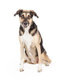 German Shepherd Cross Sitting. An adorable German Shepherd Mixed Breed Dog sitting while looking directly into the camera Stock Images