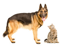 German Shepherd and a curious cat Scottish Straight. Isolated on white background royalty free stock images