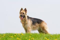 German shepherd with dandelions Royalty Free Stock Photos