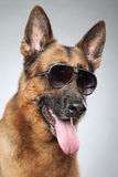 German shepherd in dark sunglasses. Funny portrait Royalty Free Stock Images
