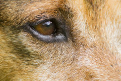 German shephard detail Royalty Free Stock Photography