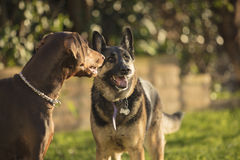 German Shepherd and Doberman Pinscher playing outside. German Shepherd and a Doberman Pinscher outside in a grassy area playing together Stock Photos