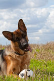 German Shepherd dog. Portrait of German Shepherd dog with ball outdoors Royalty Free Stock Photos