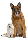German Shepherd Dog, 11 years old, and Maltese. 3 years old, in front of white background Royalty Free Stock Images