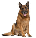 German Shepherd Dog, 11 years old, sitting Royalty Free Stock Photo
