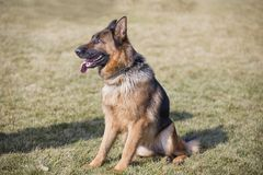 Free German Shepherd Dog Royalty Free Stock Photography - 116956447