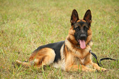 German shepherd dog Stock Photos