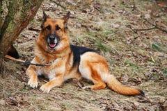 German shepherd dog. Old german shepherd dog laying at the tree Stock Images