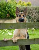 German Shepherd Dog. Royalty Free Stock Photo
