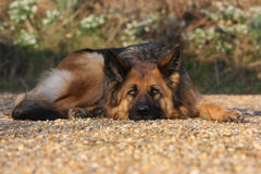 German Shepherd Dog. A German Shepherd dog laid down outside on gravel with her head on the ground Royalty Free Stock Images