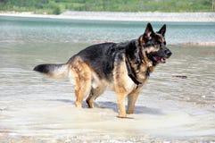 German Shepherd Dog stock photography