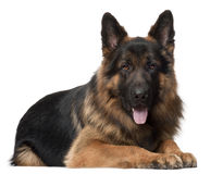 German Shepherd Dog, 2 years old, lying. In front of white background Royalty Free Stock Photo
