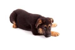 German Shepherd dog. Isolated over white Royalty Free Stock Image