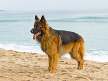 German Shepherd Dog Stock Photography