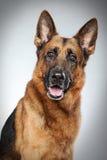 German shepherd dog. Portrait on grey background Stock Photos