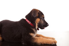 German Shepherd dog Royalty Free Stock Images