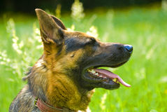 German Shepherd dog. Sitting in green grass and panting Stock Photography