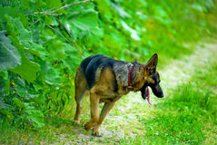 German Shepherd dog. Panting, walking along path through green field Royalty Free Stock Photography