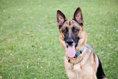 German Shepherd Dog. German Shepherd on grass at the dog park Royalty Free Stock Images