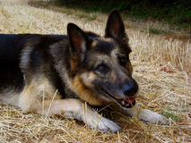 German shepherd dog. Close up, lying and looking at the camera Royalty Free Stock Photo