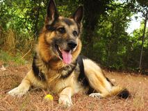Free German Shepherd Dog Stock Photography - 3105852