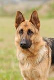 German shepherd dog. Portrait in garden royalty free stock photos