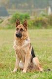 German shepherd dog. Portrait in garden stock photography