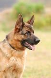 German shepherd dog. Portrait in garden royalty free stock photo