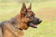 German shepherd dog. Portrait in garden stock photo