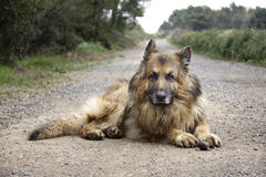 German shepherd dog. Lying on the road Royalty Free Stock Image