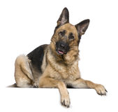German Shepherd dog, 4 years old. In front of white background Stock Image
