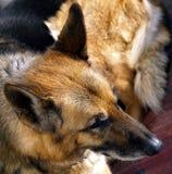 German shepherd dog. Portrait of a German shepherd dog Stock Photos