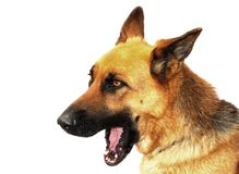 German Shepherd Dog. Portrait of a German Shepherd dog on a white background stock image