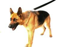 German Shepherd Dog Royalty Free Stock Photography