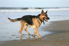 German Shepherd Dog. Playing on the beach Stock Photography
